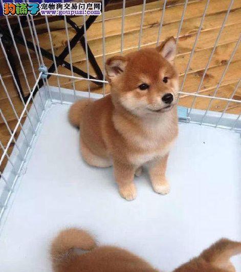 出售精品聪明纯种柴犬,幼犬公母均有