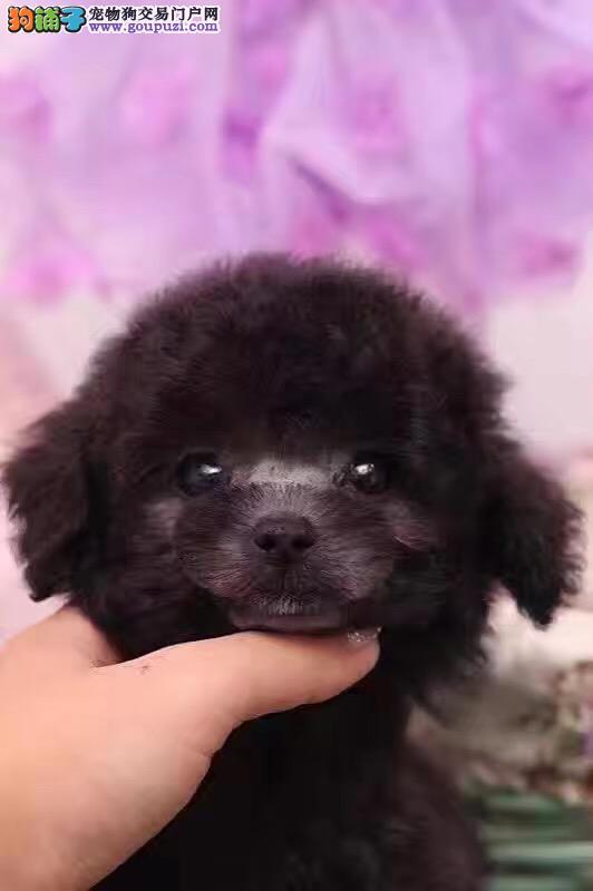 茶杯卷毛纯种高品质泰迪犬