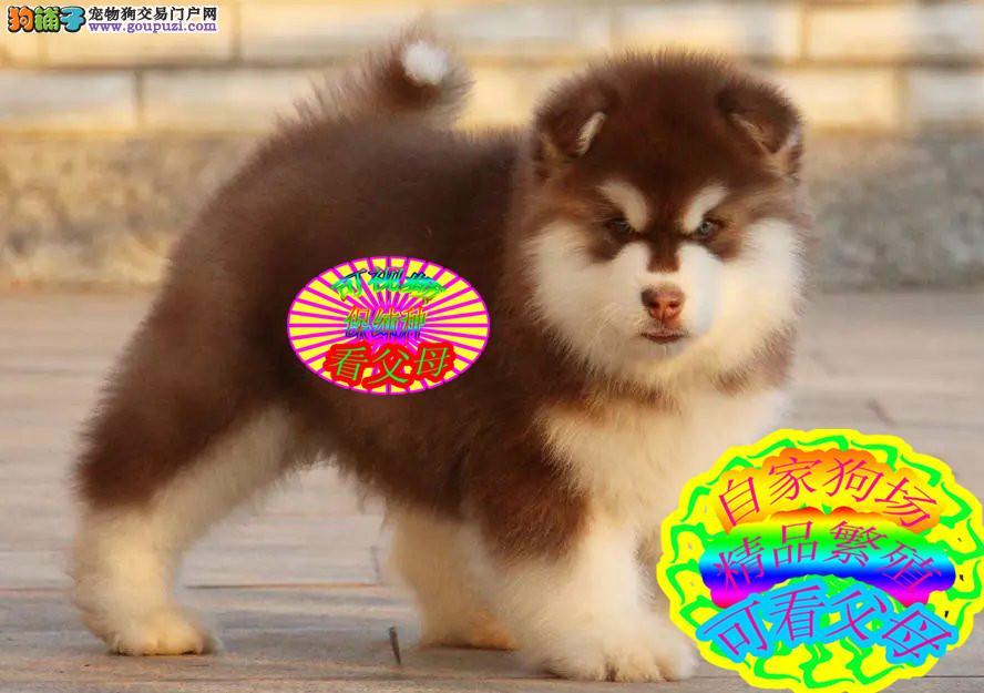 阿拉斯加雪橇犬缩略图