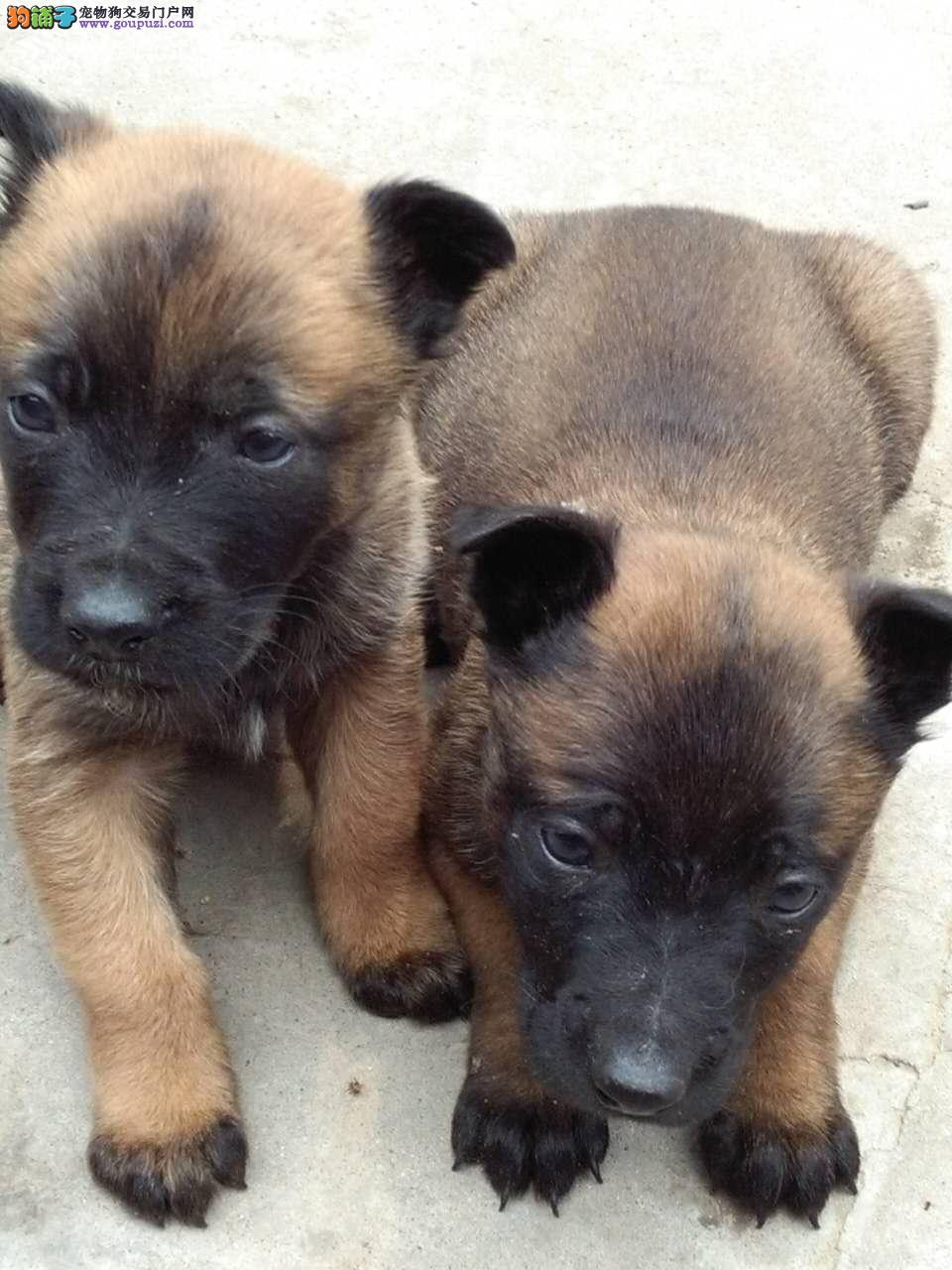 自家繁殖纯种马犬出售价格可再商议