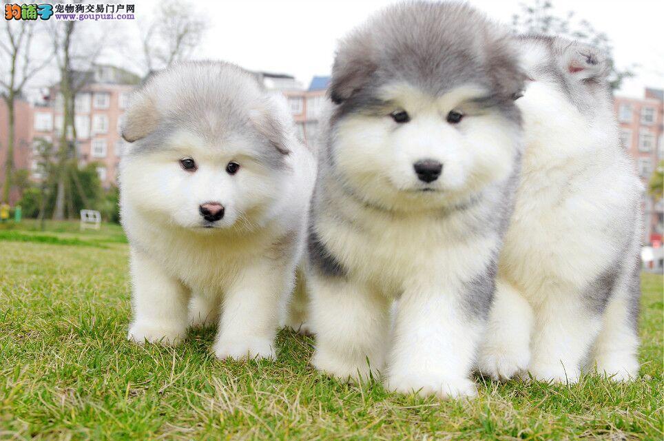 护家型保镖狗狗阿拉斯加,自家繁殖有证书,包健康
