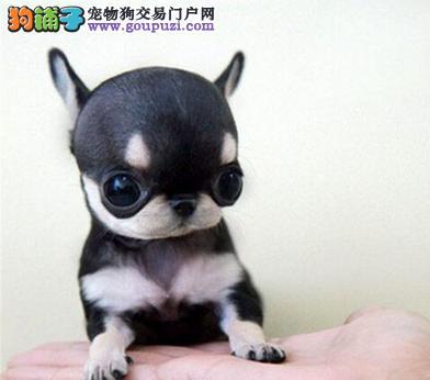 出售纯种吉娃娃 苹果头 大眼睛 健康保证 签协议