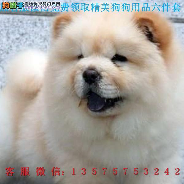 本地犬舍直销▎ 纯种松狮犬▎带出生纸血统证及疫苗本A