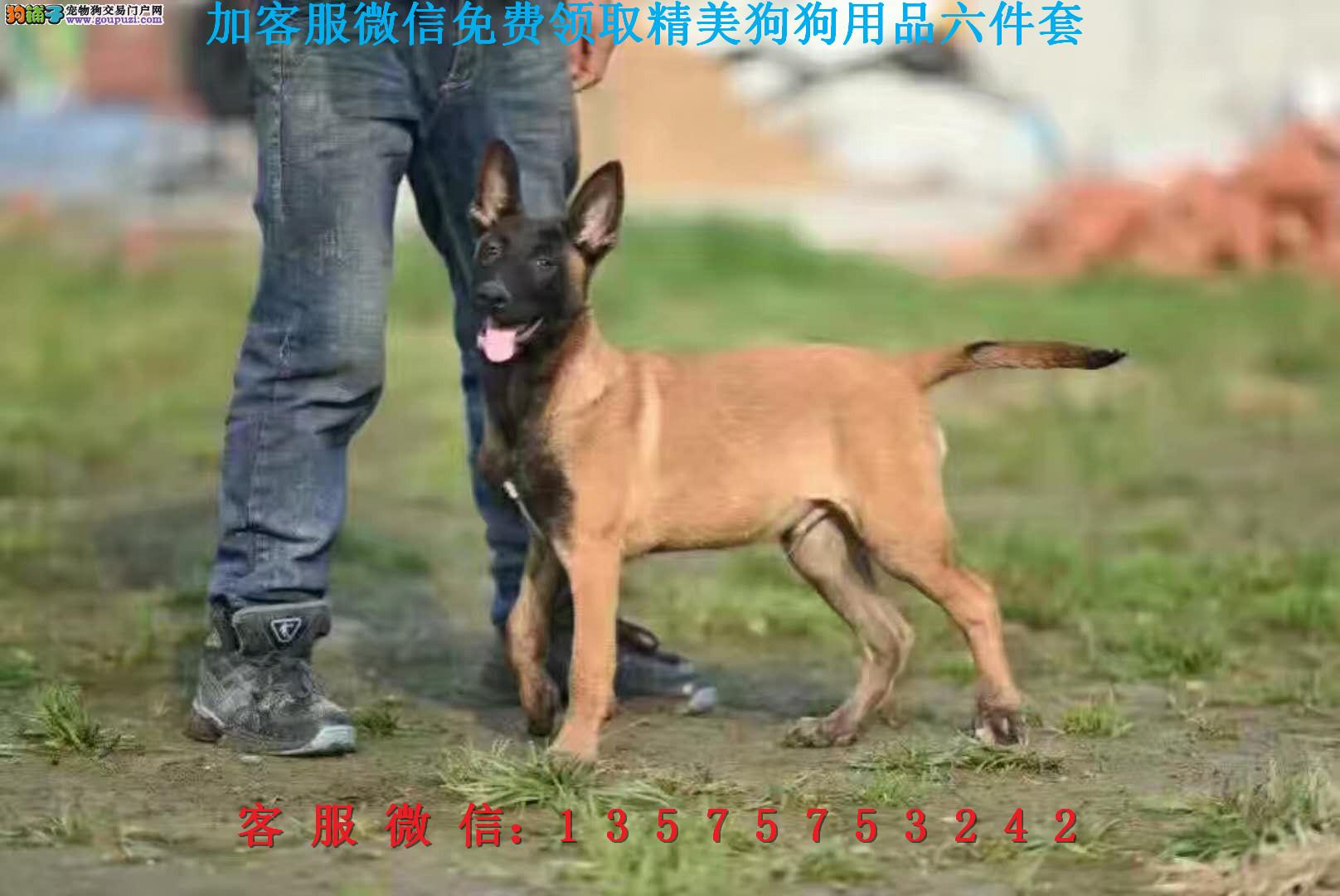 乐高犬业▎赛级马犬 ▎带出生纸血统证及疫苗本