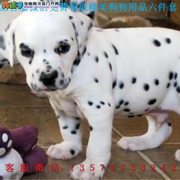 乐高犬业▎赛级斑点犬 ▎带出生纸血统证及疫苗本