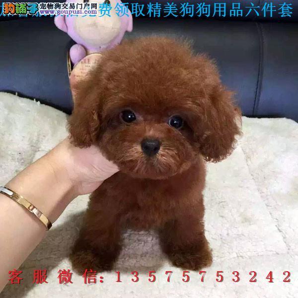 重庆犬舍直销▎纯种泰迪 ▎带出生纸血统证及疫苗本2