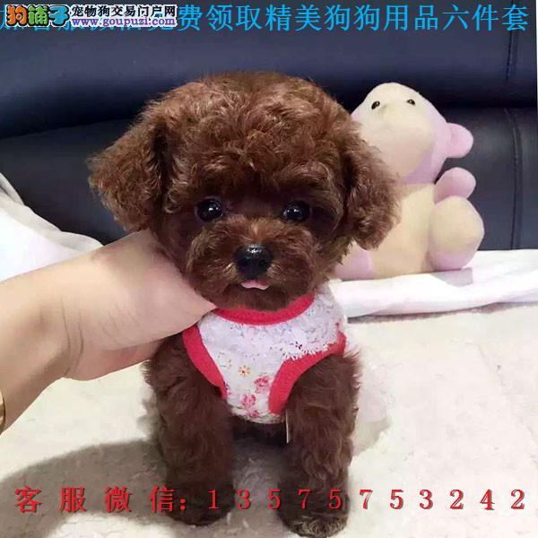重庆犬舍直销▎纯种泰迪 ▎带出生纸血统证及疫苗本3