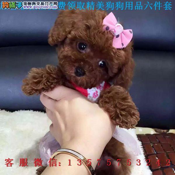 重庆犬舍直销▎纯种泰迪 ▎带出生纸血统证及疫苗本1