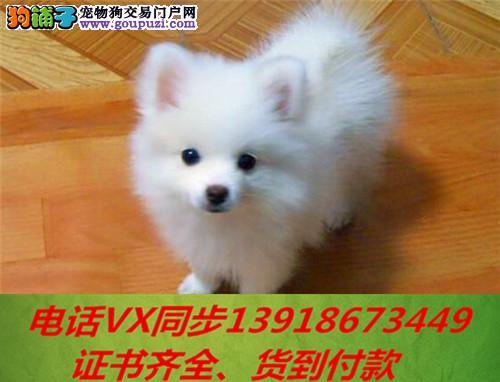 本地犬舍出售纯种银狐犬 包养活 签协议可送货上门!