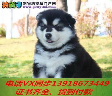本地犬舍出售纯种阿拉斯加 包养活 签协议可送货上门!