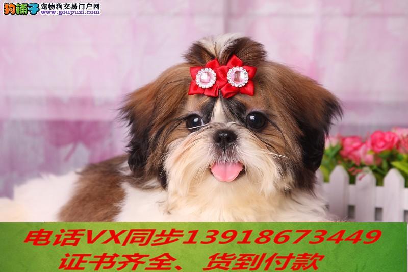 本地犬舍出售纯蝴蝶犬 包养活 签协议可送货上门!