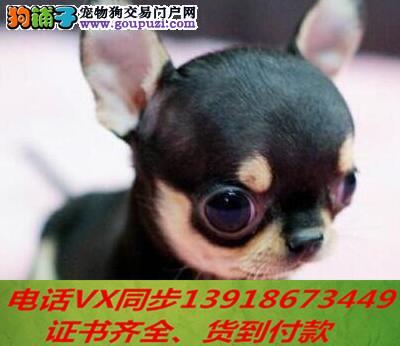 本地犬舍出售纯种吉娃娃 包养活 签协议可送货上门!