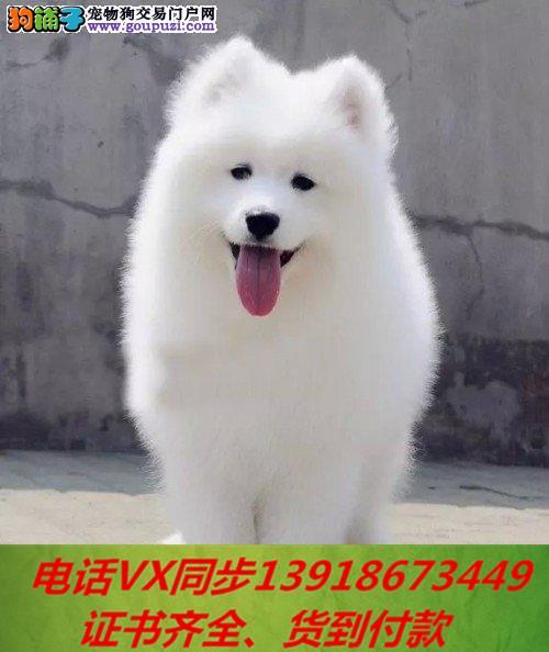 本地犬舍出售纯种萨摩耶 包养活 签协议可送货上门!