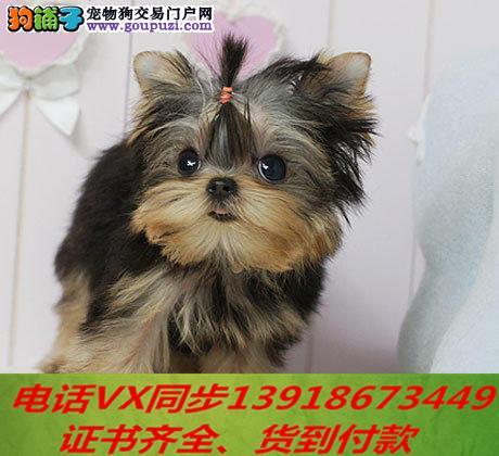 本地犬舍出售纯种约克夏犬 包养活签协议可送货上门!!