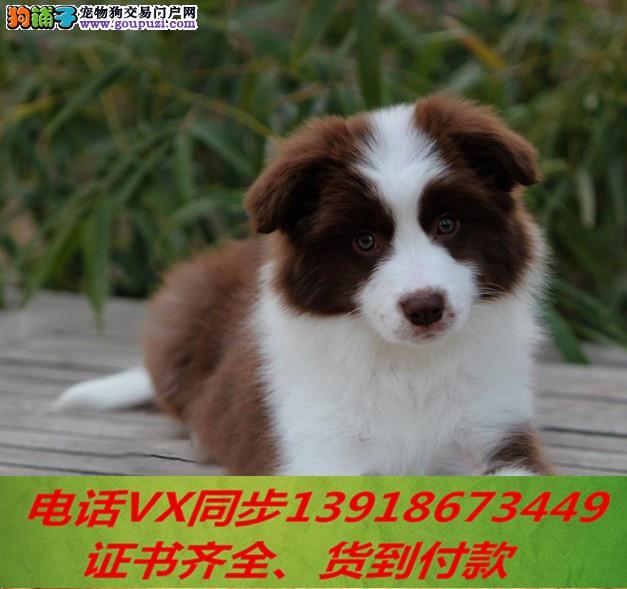 本地犬舍出售纯种边牧 包养活签协议可送货上门!