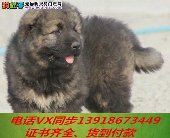 本地犬舍出售纯种高加索 包养活签协议可送货上门!