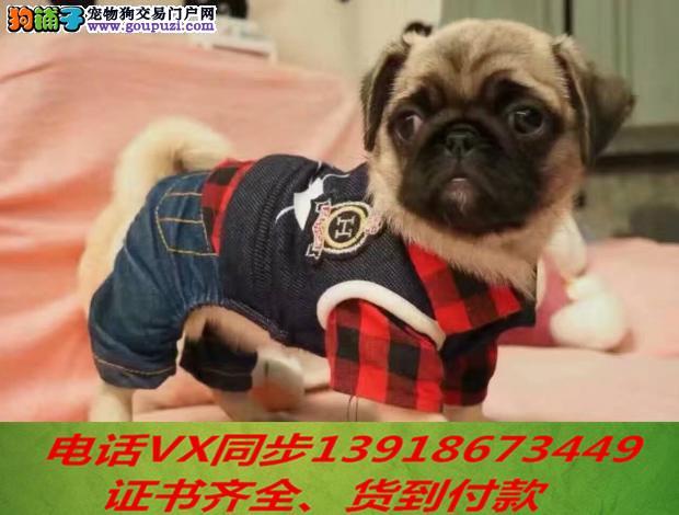 本地犬舍出售纯种巴哥犬 包养活 签协议可送货上门