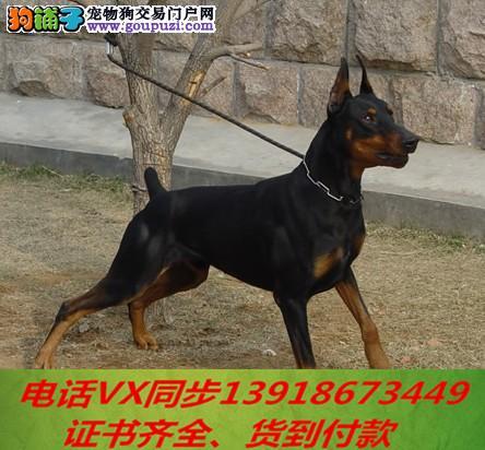 本地犬舍出售纯种杜宾犬 包养活 签协议可送货上门