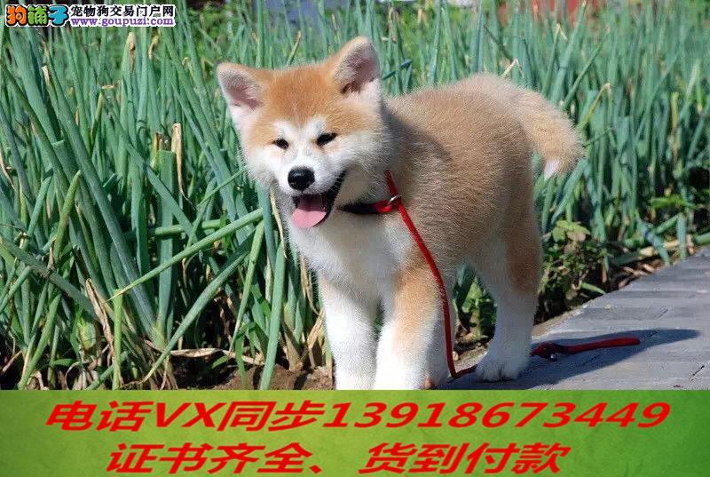 本地犬舍出售纯种秋田犬 包养活签协议可送货上门