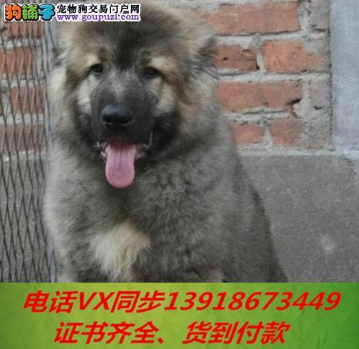 本地犬舍出售纯种高加索 包养活 签协议可送货上门