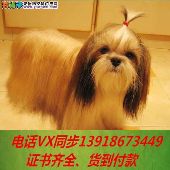 本地犬舍出售纯种西施犬 包养活签协议可送货上门