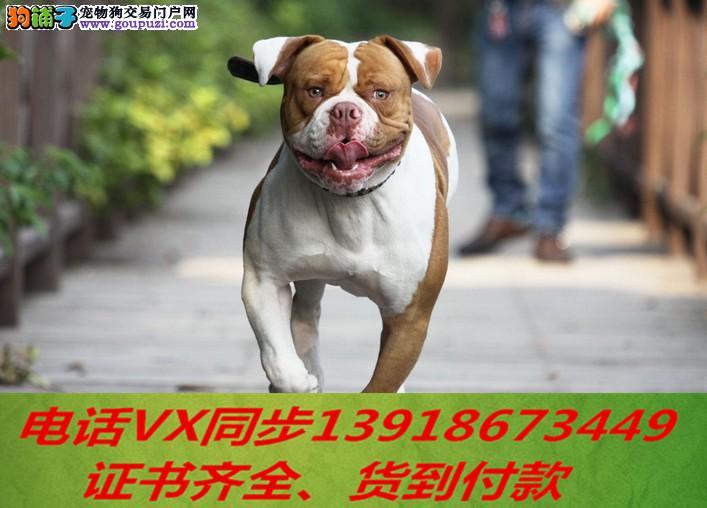 本地犬舍出售纯种美斗犬 包养活 签协议可送货上门