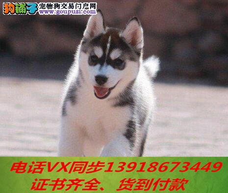 本地犬舍 出售纯种哈士奇 包养活 签协议可送货上门!