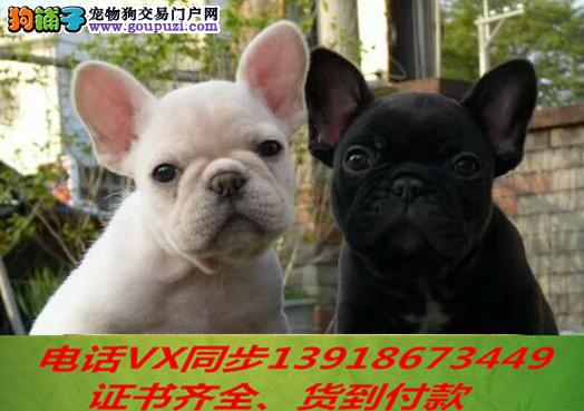 本地犬舍出售纯种法斗 包养活 签协议可送货上门1