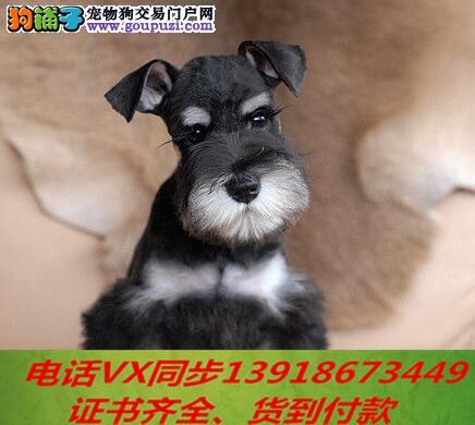 本地犬舍出售纯种雪纳瑞 包养活 签协议可送货上门