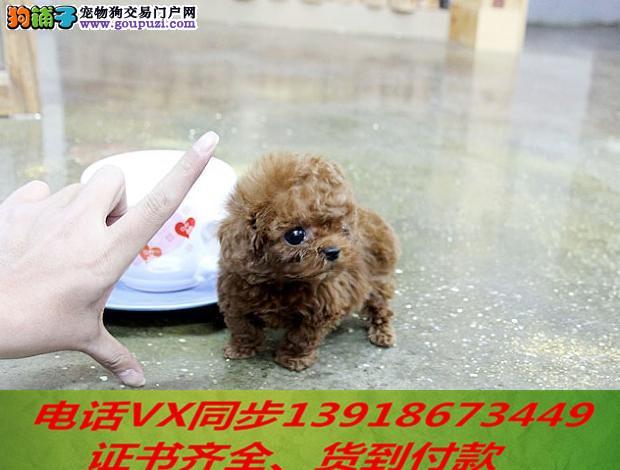 本地犬舍 出售纯种茶杯犬 包养活 签协议可送货上门!