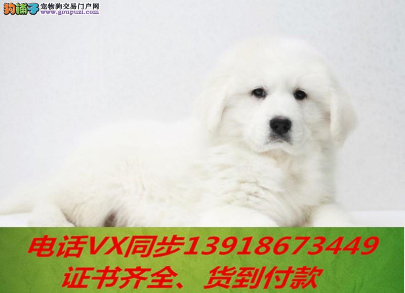 本地犬舍出售纯种大白熊 包养活 签协议可送货上门