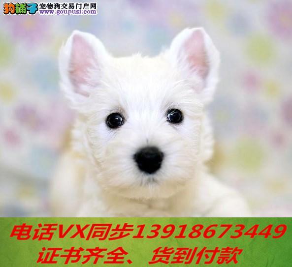 本地犬舍出售纯种西高地 包养活 签协议可送货上门
