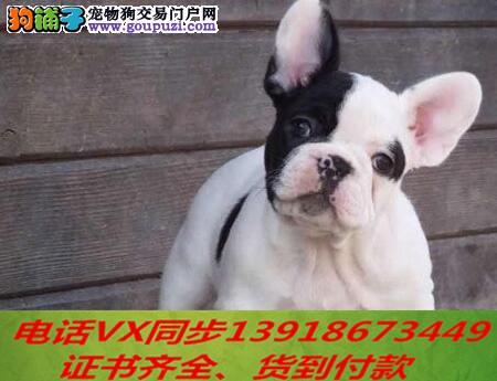 本地犬舍出售纯种法斗 包养活 签协议可送货上门2
