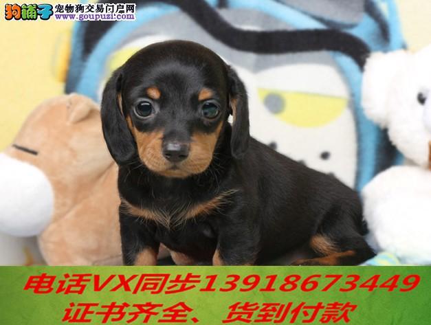 专业繁殖腊肠犬 血统纯正带证书签协议包养活
