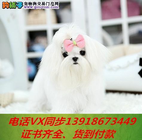 专业繁殖马尔济斯犬血统纯正带证书签协议包养活