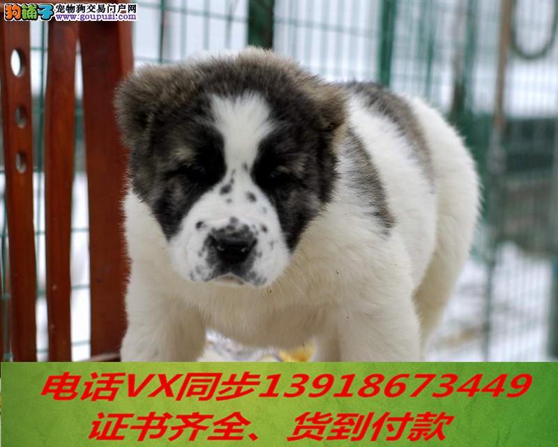 专业繁殖中亚牧羊犬血统纯正带证书签协议包养活