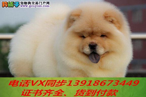 专业繁殖松狮犬血统纯种可实地挑选4