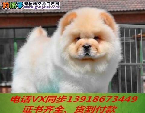 专业繁殖松狮犬血统纯种可实地挑选2