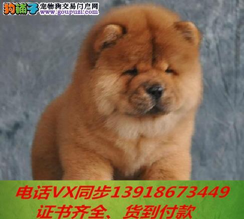专业繁殖松狮犬血统纯种可实地挑选1