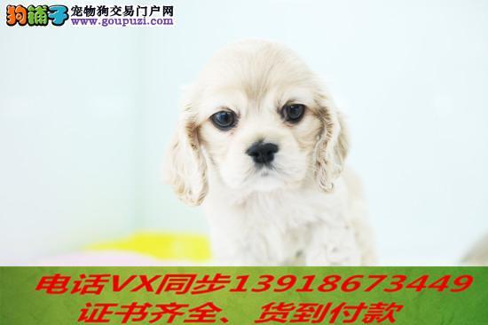 纯种可卡犬出售当天发货可上门.视频签协议