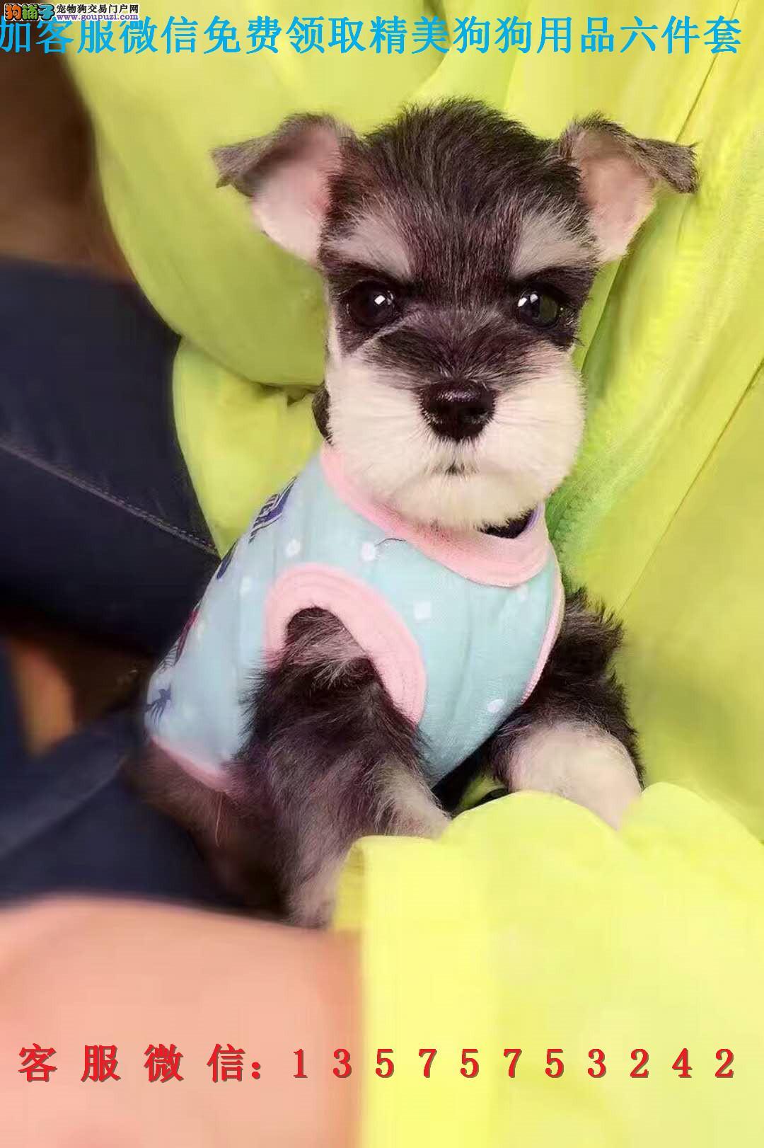 CKU认证健康的 雪纳瑞 包健康纯种犬舍