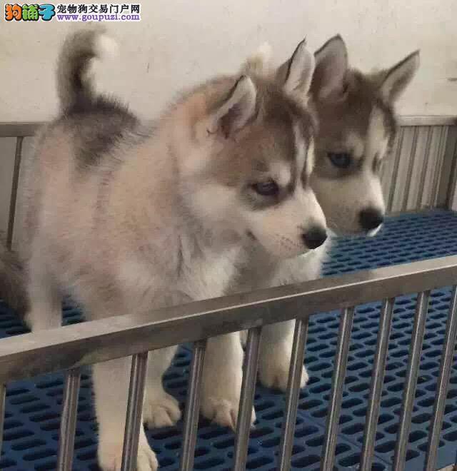 天津哪里有卖哈士奇幼犬 双蓝眼三火哈士奇多少钱