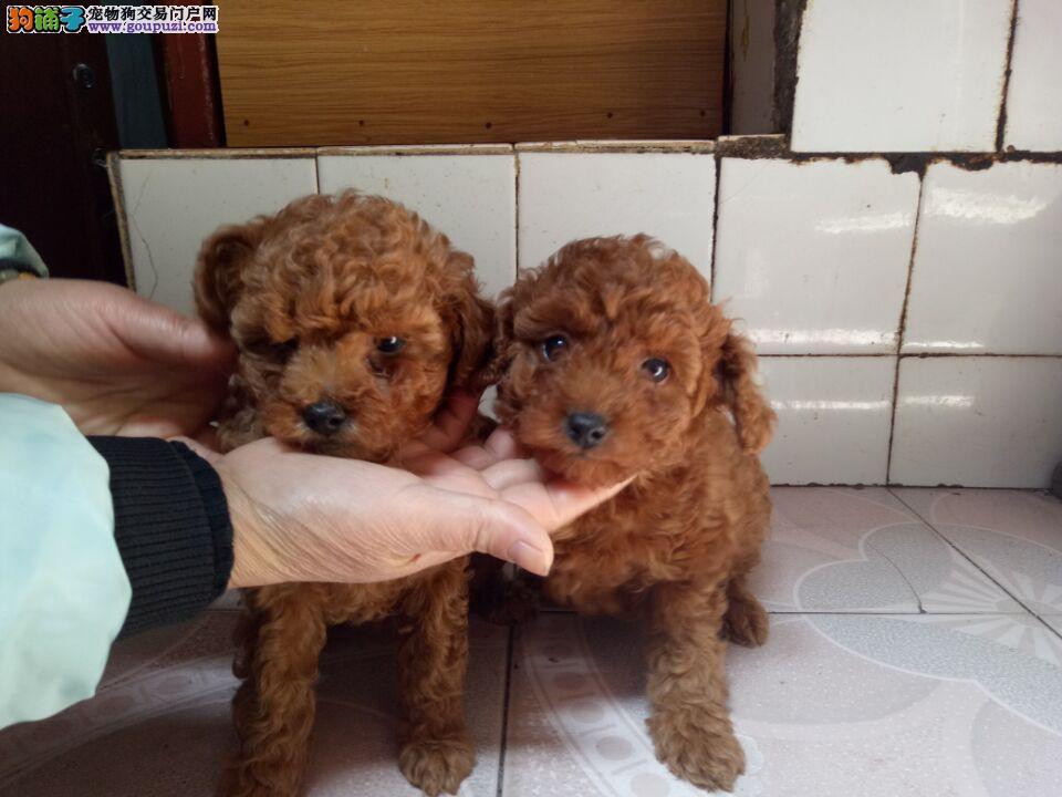 自家养的泰迪幼犬出售