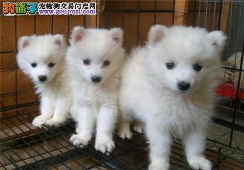 官方保障|犬舍繁殖精品银狐犬 纯种健康养活 可签协议