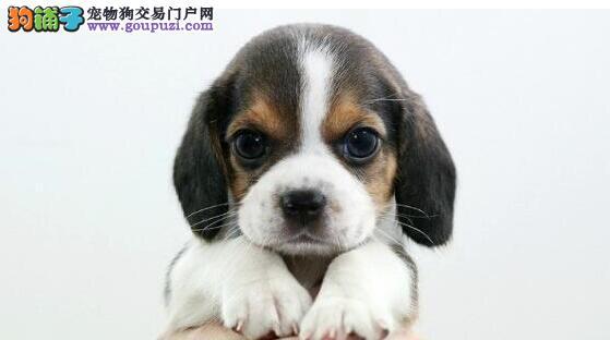 官方保障|犬舍繁殖纯种比格 包纯种健康养活 送货上门