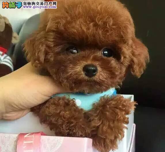 官方保障|犬舍繁殖纯种贵宾犬 纯种健康养活 可签协议