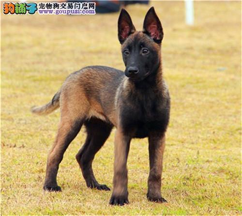 官方保障|犬舍繁殖纯种比利时 纯种健康养活 可签协议