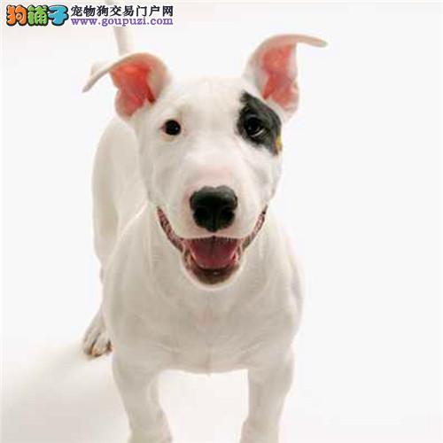官方保障|犬舍繁殖纯种牛头梗 纯种健康养活 可签协议