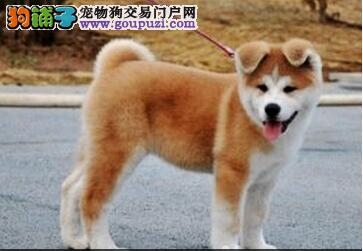 官方保障|犬舍繁殖纯种秋田 包纯种健康养活 送货上门