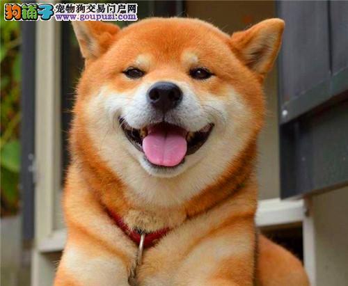 官方保障|犬舍繁殖纯种柴犬 包纯种健康养活 送货上门
